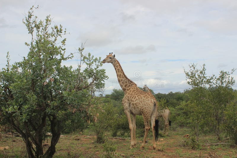 Giraffe in Kruger national park game reserve in South Africa.  royalty free stock photo