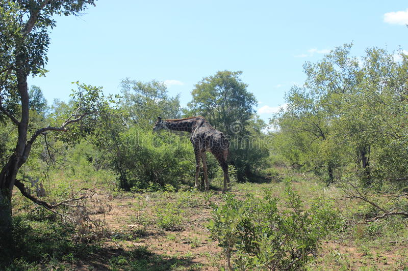 Giraffe in Kruger national park game reserve in South Africa.  royalty free stock photos