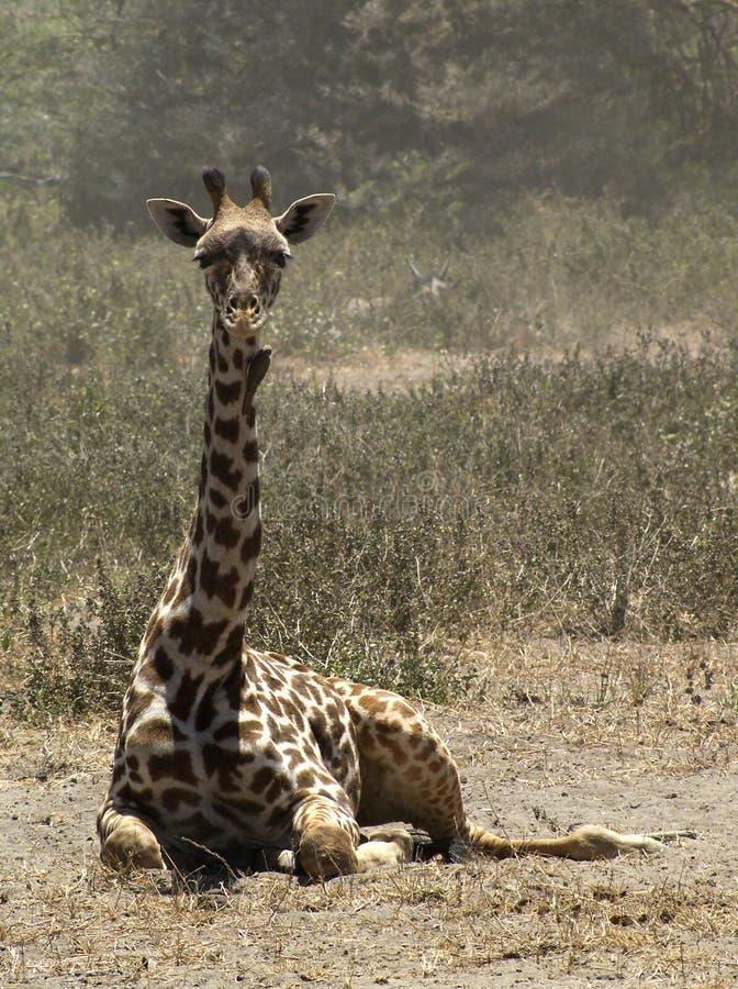 Giraffe Laying on the Ground. Adult giraffe laying on the ground in the wilderness looking forward. Kenya, Africa stock photo