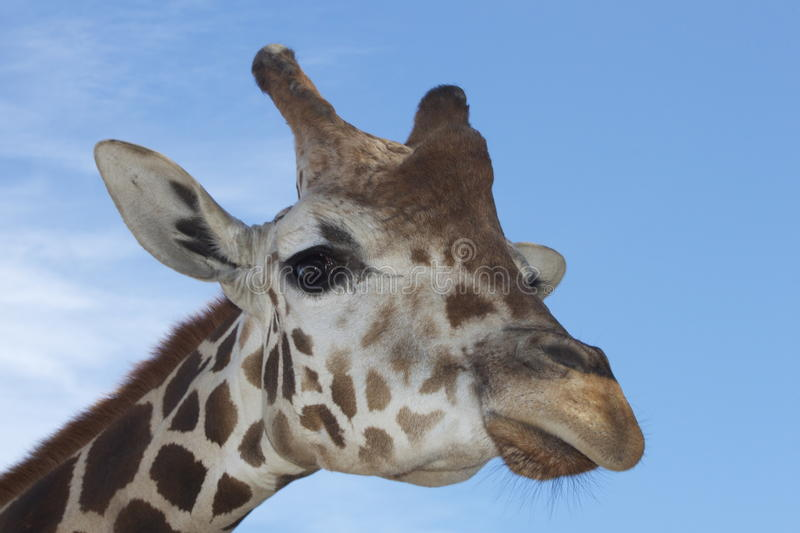 Giraffe. This giraffe lives in a Florida park and posed well for my picture royalty free stock image