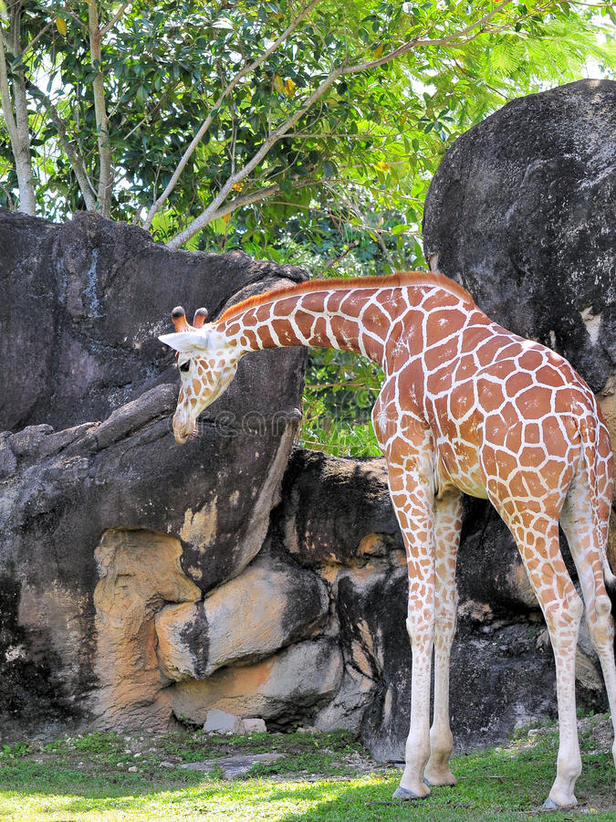 Giraffe Looking At The Ground Royalty Free Stock Image