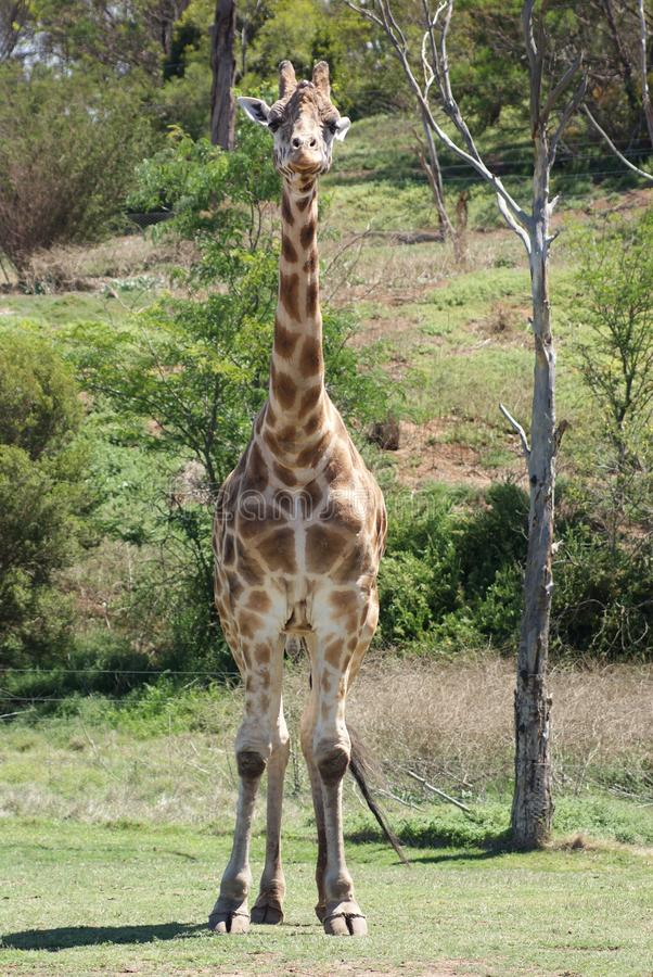 Giraffe Looking at Me. At an average height of around 5 m 16-18 ft., the giraffe is the tallest land animal in the world. Characterized by its long legs, long royalty free stock photos