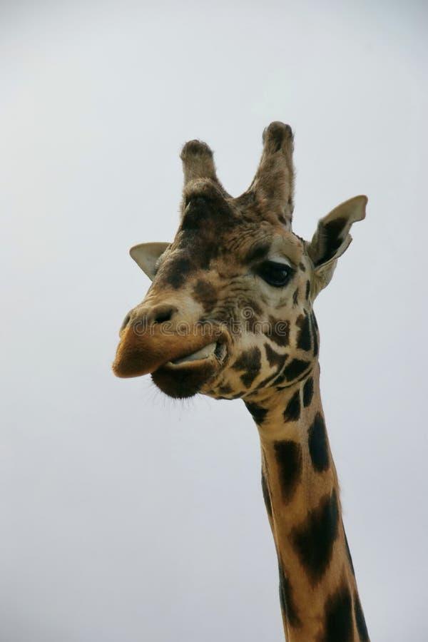 Giraffe looking at you stock photos