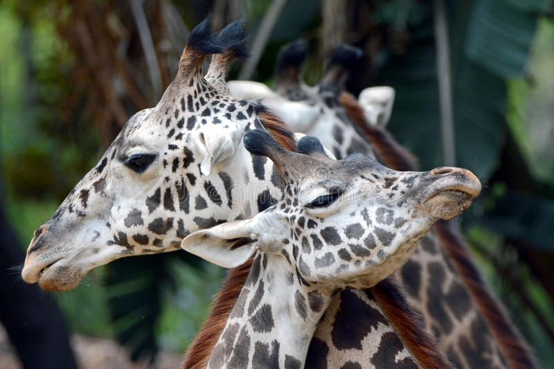 Giraffe Love. Two Masai Giraffes show affection for each other at the Los Angeles Zoo royalty free stock image