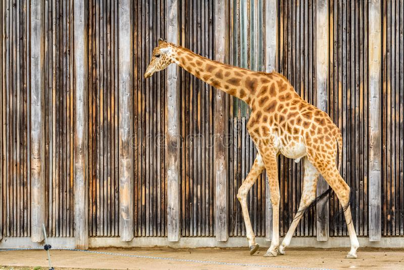 Giraffe an Lyon-Zoo stockbild