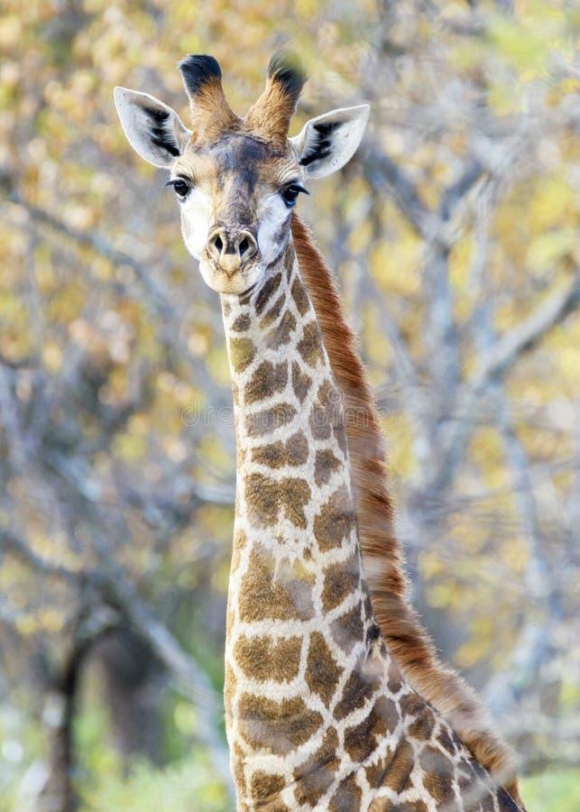 Giraffe majest?tisch lizenzfreie stockbilder