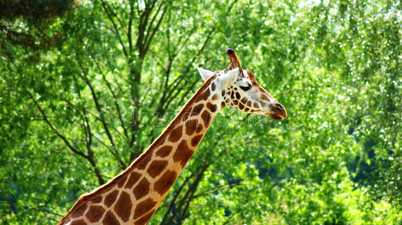 Giraffe. Is a mammal from a group of cloven-hoofed,  families. It is the highest terrestrial animal of the planet royalty free stock photos