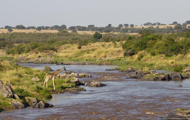 Download Giraffe at the Mara River stock photo. Image of kenya - 21395160