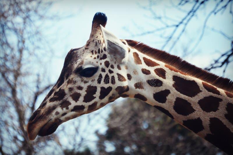 Giraffe. A giraffe at the Milwaukee County Zoo in Milwaukee, Wisconsin stock photos