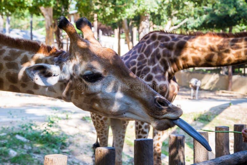 Giraffe mit der Zunge heraus stockbild