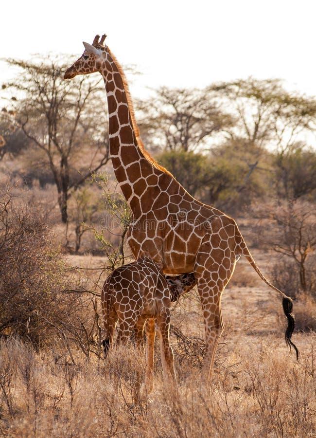 Giraffe mit Kind stockbild