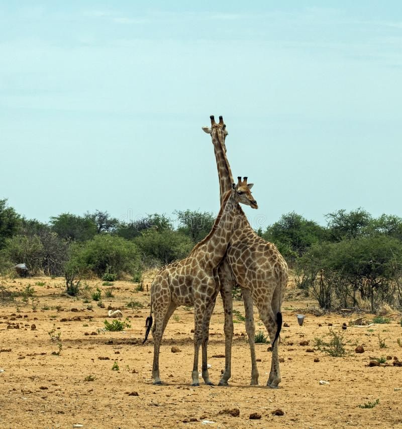 Giraffe mother and child close together royalty free stock photography