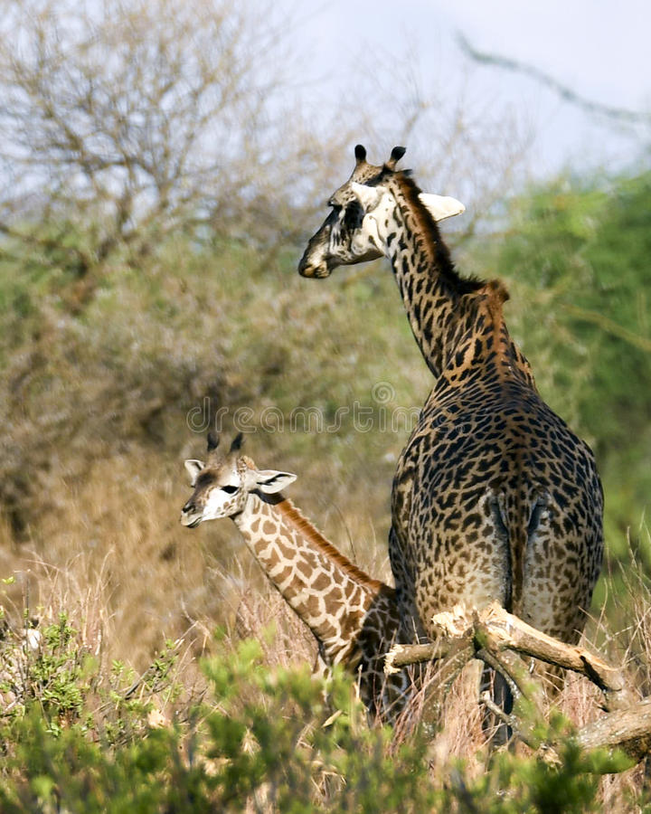 Giraffe mother and child stock images