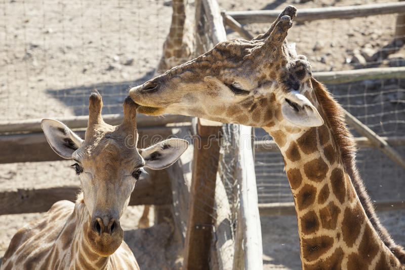 Giraffe mother licking her child horn royalty free stock photography