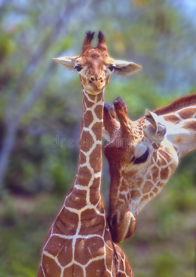 Giraffe mother love. royalty free stock photo
