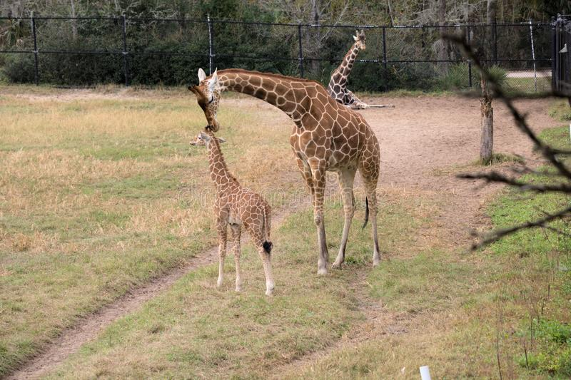 A Giraffe mother and offspring. A giraffe mother nuzzling her offspring in an enclosure in a zoo royalty free stock images
