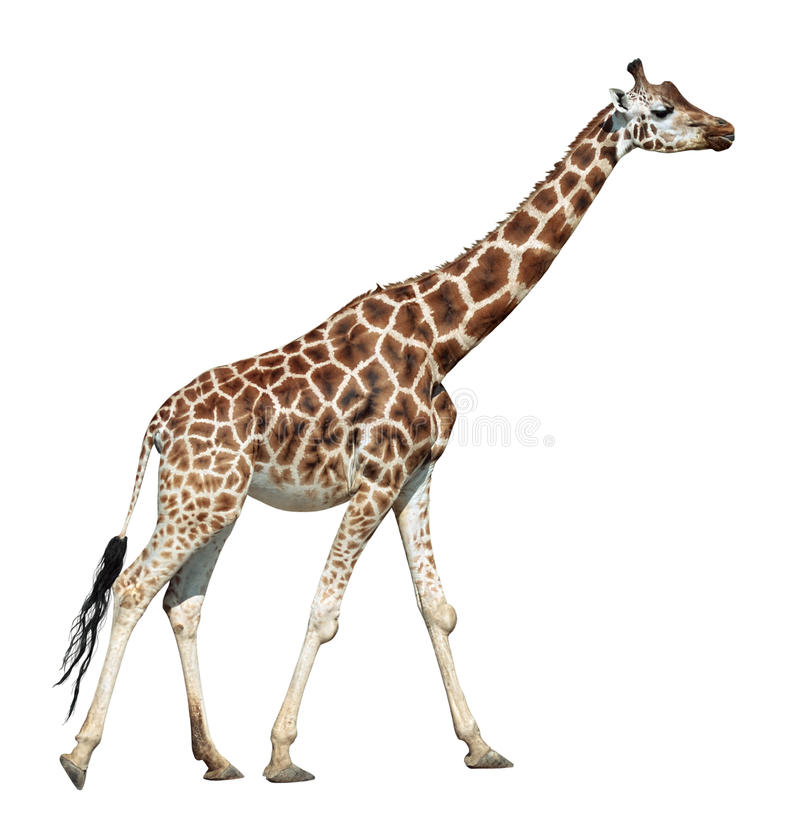 Giraffe on move stock images