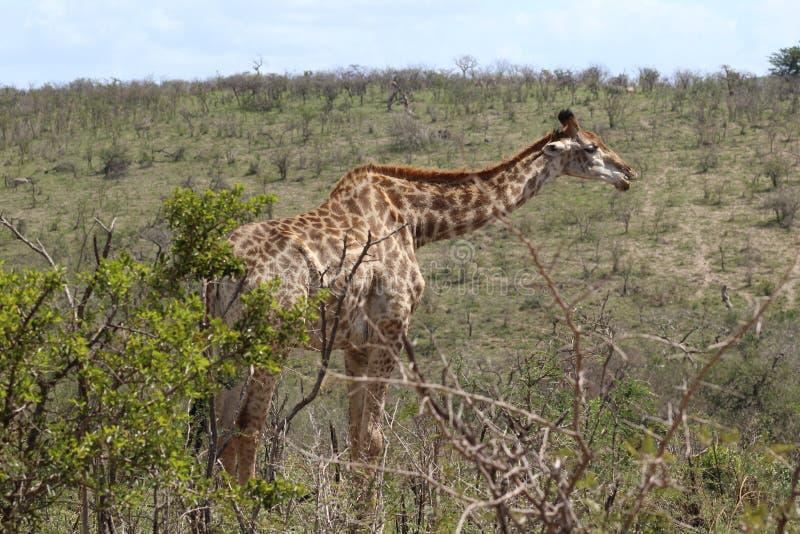 Giraffe on the move stock image
