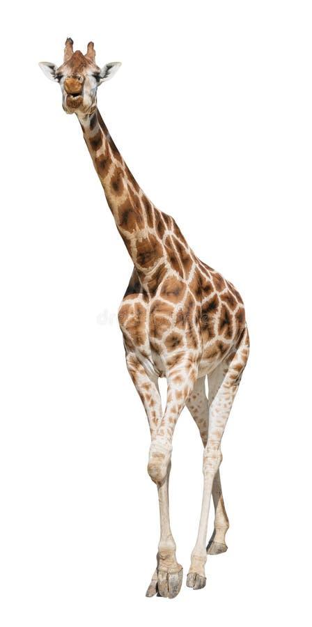 Giraffe move forward approaching front view stock photo