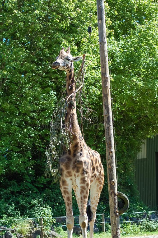 A giraffe at Paignton zoo in Devon, UK. royalty free stock image