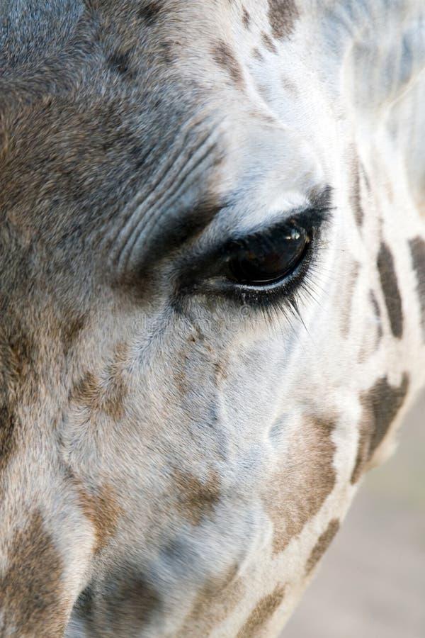Giraffe-Nahaufnahme stockbild