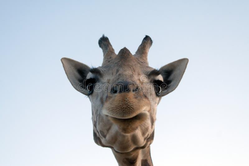Giraffe-Nahaufnahme lizenzfreies stockfoto