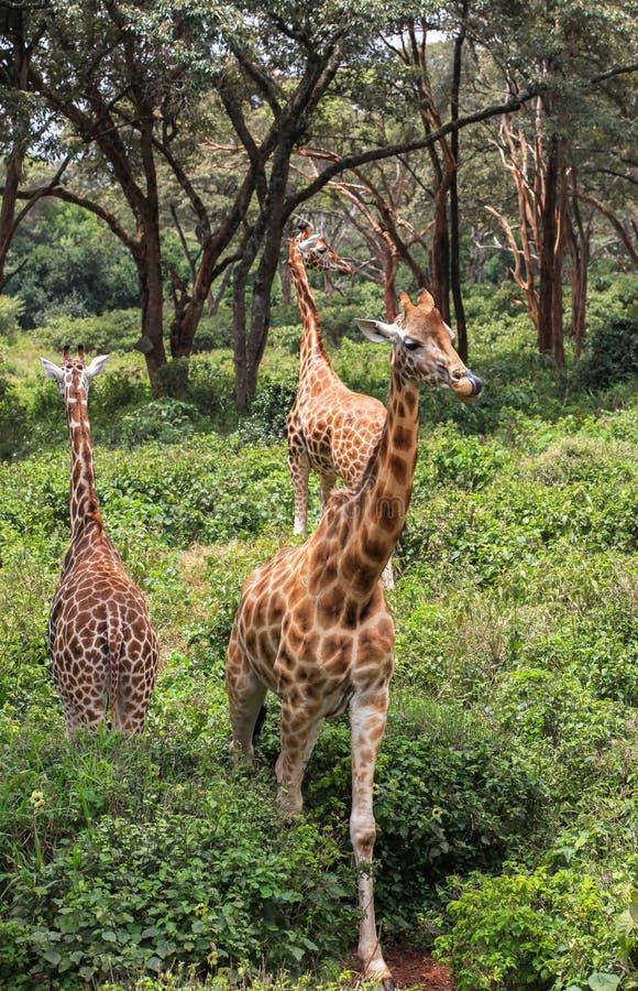 Giraffe In Nairobi Kenya. This photo was taken on Feb, 2016 in Giraffe Center in Nairobi, Kenya. The Giraffe Centre is located at Karen, approximately 5 stock photo
