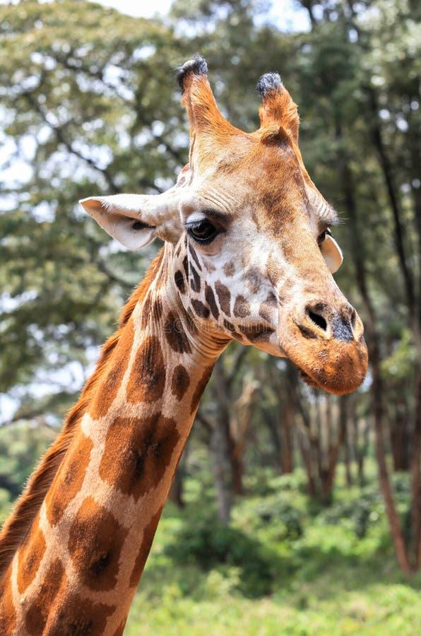Giraffe In Nairobi Kenya. This photo was taken on Feb, 2016 in Giraffe Center in Nairobi, Kenya. The Giraffe Centre is located at Karen, approximately 5 royalty free stock photo