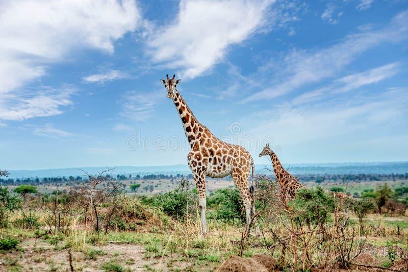 Giraffe in Nationalpark Murchison Falls, Uganda lizenzfreies stockbild