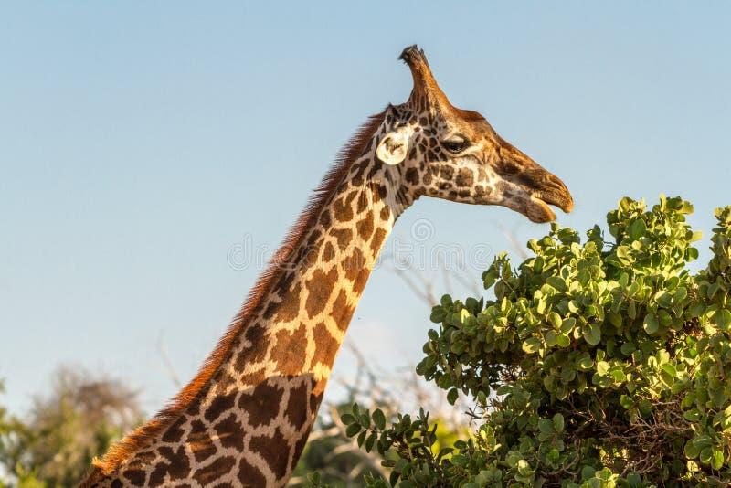 Giraffe in Nationalpark Tsavo, Kenia stockfotos