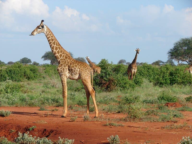 Giraffe - Nationalpark Tsavo Ost in Kenia. Mitte des Frühlinges stockfotos