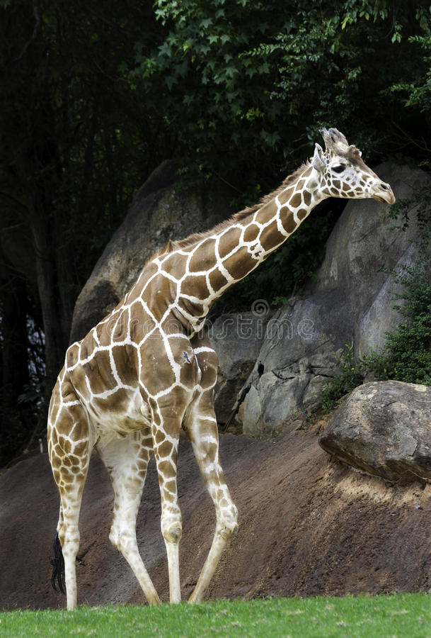 Giraffe am NC-Zoo stockfotos
