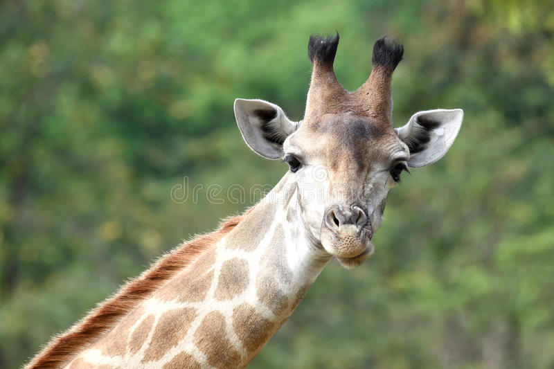Download Giraffe neck stock image. Image of plain, portrait, brown - 23593481