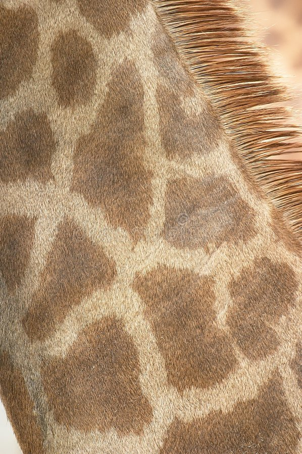 Giraffe Neck Coat stock photography