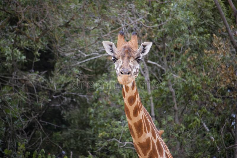 Giraffe from the neck up stock photography