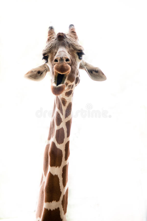 Giraffe neck up royalty free stock image