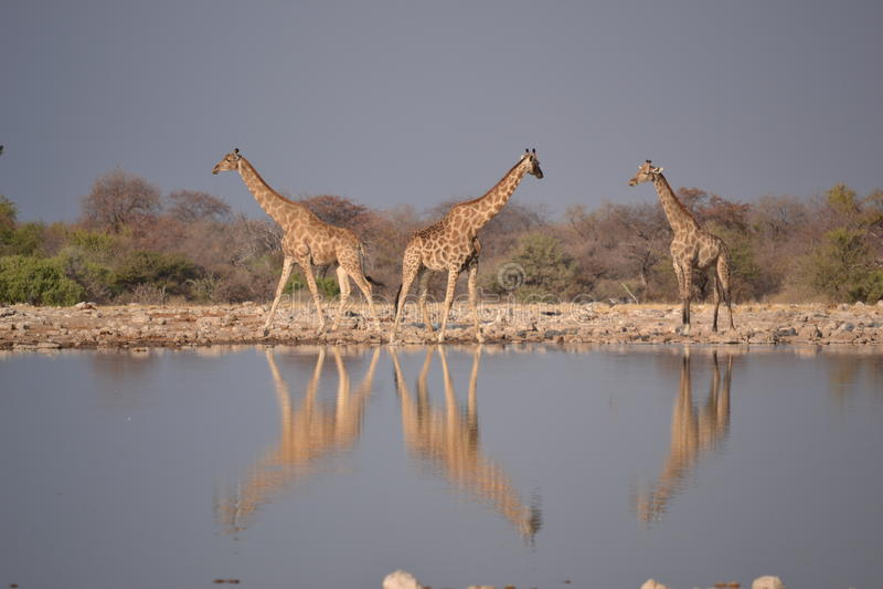 Giraffe nel parco nazionale di Etosha fotografia stock