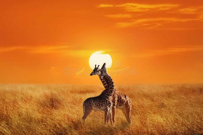 Giraffe nel parco nazionale di Serengeti l'africa tanzania soli fotografia stock