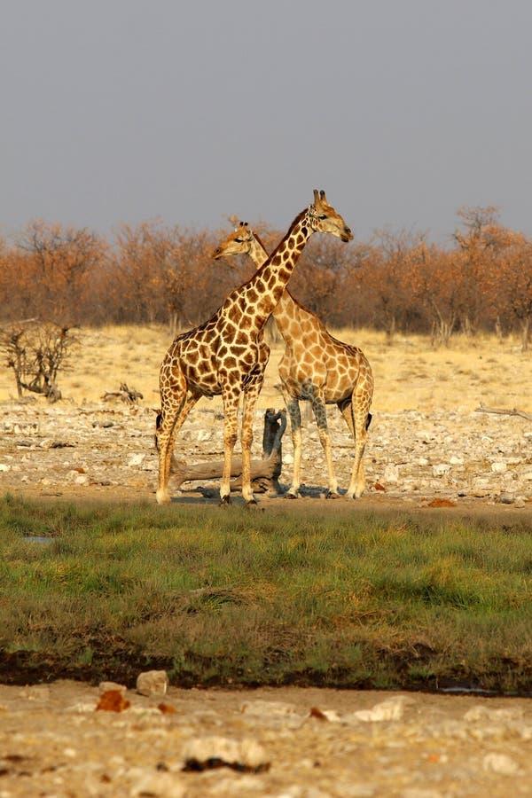 Giraffe nel safari della pentola di etosha - Namibia Africa immagini stock libere da diritti