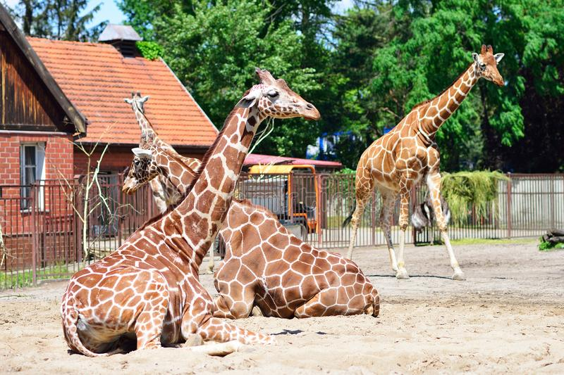 Giraffe nella sosta di safari del giardino zoologico fotografia stock libera da diritti