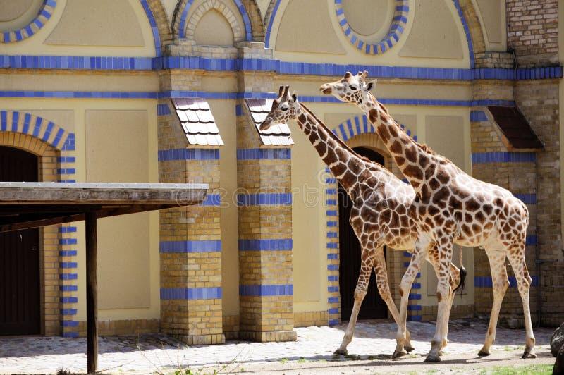 Giraffe nello zoo di Berlino immagini stock