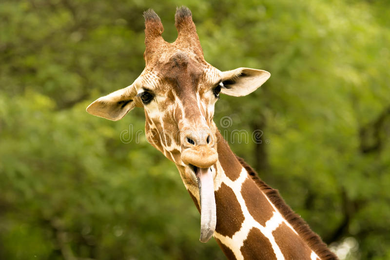 Download Giraffe stock image. Image of wild, ecology, sand, wilderness - 57762835
