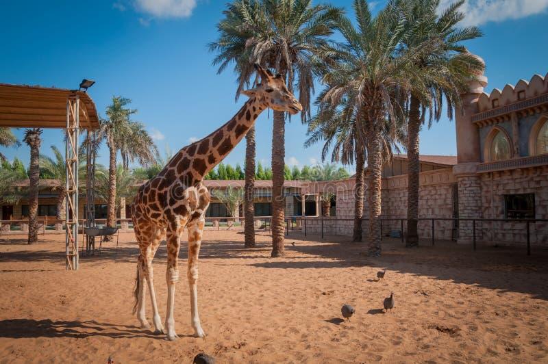 Giraffe no jardim zoológico imagens de stock