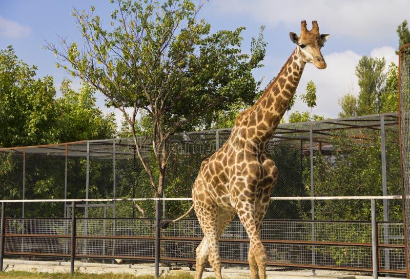 Giraffe no jardim zoológico fotos de stock royalty free