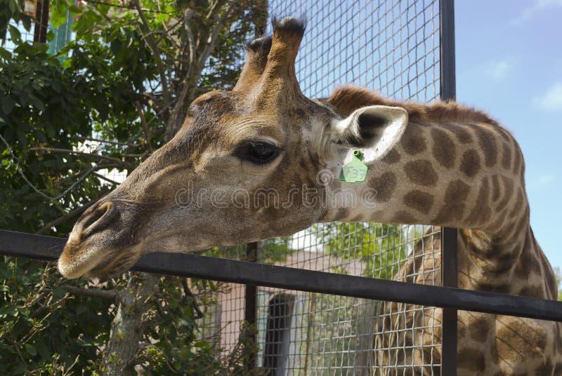 Giraffe no jardim zoológico Atrás da cerca foto de stock