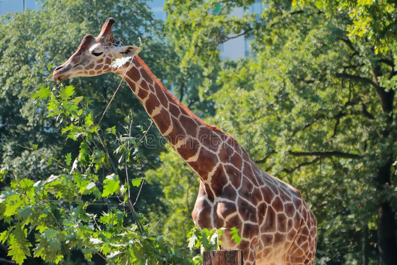 Giraffe no jardim zoológico Berlim, Alemanha fotos de stock