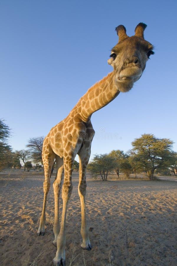 Giraffe no Kalahari, Botswana. imagem de stock