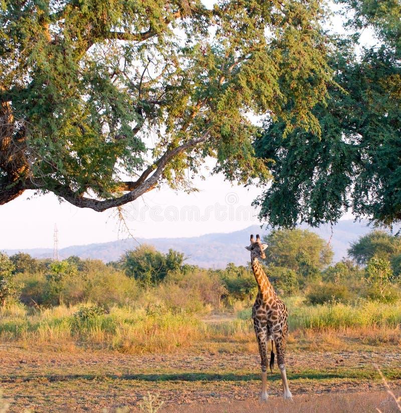 Giraffe novo no interior na Zâmbia fotografia de stock
