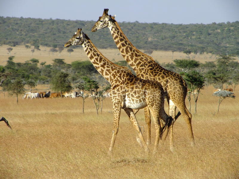 Download Giraffe In Ol Kineyi Conservancy Near Masai Mara , Stock Photo - Image: 24394794