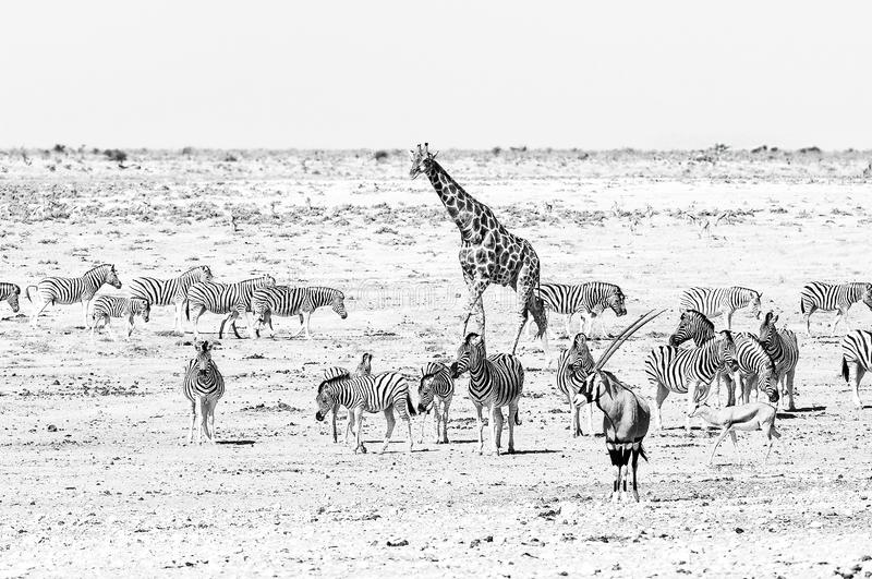 Giraffe, oryx, springbok and Burchells zebras in Northern Namibia. Monochrome. A giraffe, oryx, springbok and Burchells zebras at a waterhole in Northern Namibia stock image
